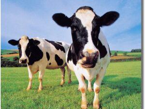 Kids Globe PK/12 Lying standing Cows